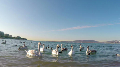 Group of swans and ducks on the Black Sea Footage