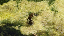 Strange mating trial of two frogs Footage