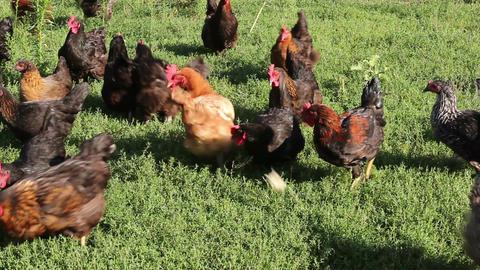 Domestic Chicken Feeding Filmmaterial