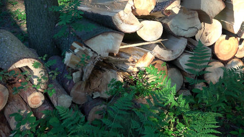 Wooden logs of pine woods in the forest. Freshly chopped tree logs stacked up on Footage