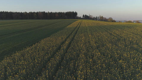 Yellow Flowers On A Field With Drone At Sunset Footage