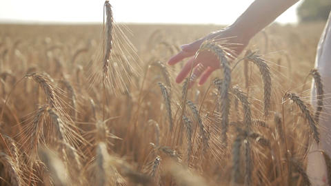 Female hand touching wheat spikes at sunset light Footage