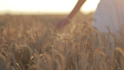 Calm woman walking throung wheat field at sunset Live Action