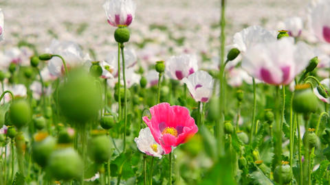 Close view into pink poppy hybrid. Detailed red pink poppy flower hybrid between Footage