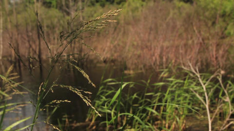 Coastal reed on the shore of a forest lake Footage