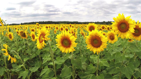 Sunflowers under a cloudy sky Live Action