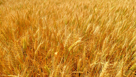Golden rye shinning in summer sun. View to high and short stalk with spikes almo Footage