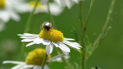 Bee sitting on a daisy and collect pollen 2d Footage