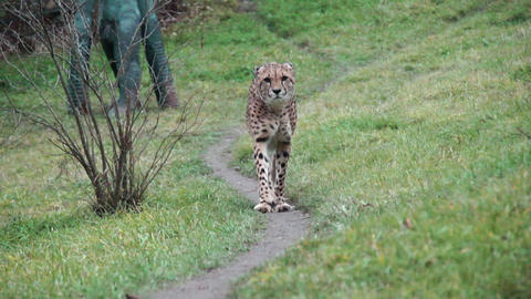 Cheetah On The Trail stock footage