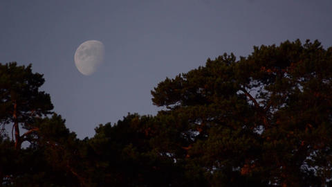 Full Moon among tall trees 2 Footage