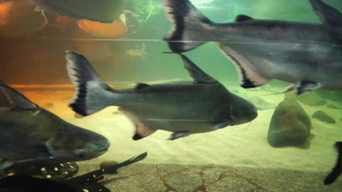 Aquarium With A Big River Fish stock footage