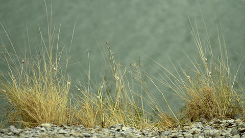 Dried herbs, on a riverbank in the wind. The soil is not favorable, he was full  Footage
