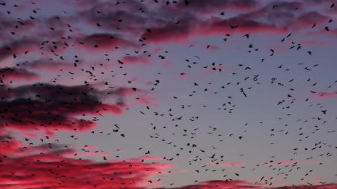 Flock Of Birds At Purple Sunset Sky And Clouds Footage