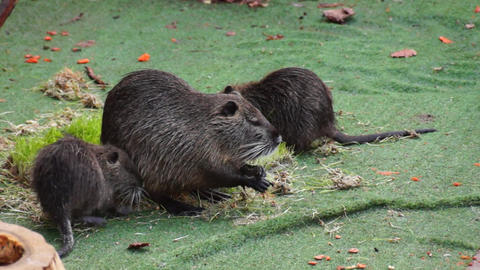 Muskrats eating grass Footage
