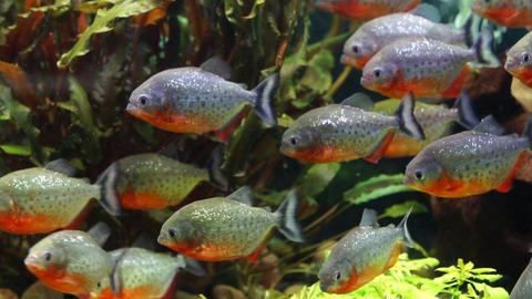 Piranha, Sea Aquarium ビデオ