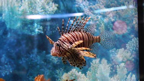Big lion fish in Aquarium Footage