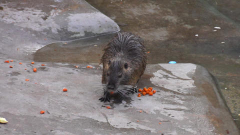 Muskrat eating carrots Footage
