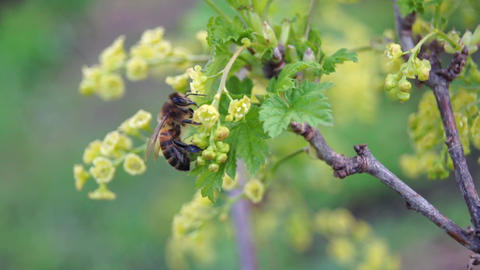 Bee pollinating a currant Live Action