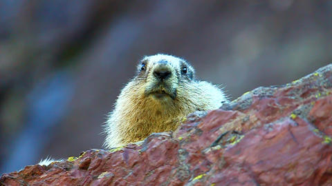 Hoary Marmot (Marmota Caligata) stock footage