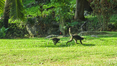 Monkeys play on the sunny lawn Footage