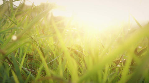Grass in the Wind During Sunset Footage