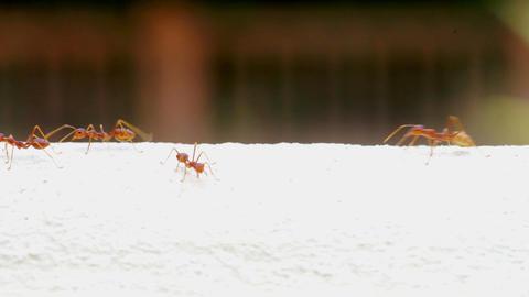 Swarm of Weaver Ants Walking on the Wall Footage