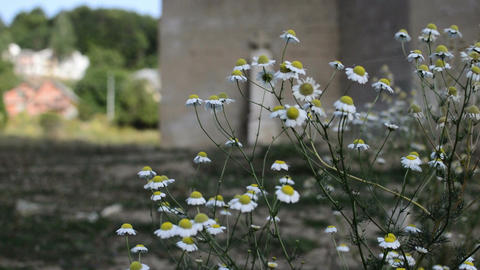 Close up panoramic scene with chamomile flowers and old church in background Footage