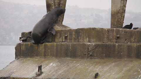 Seal climbing stairs Footage