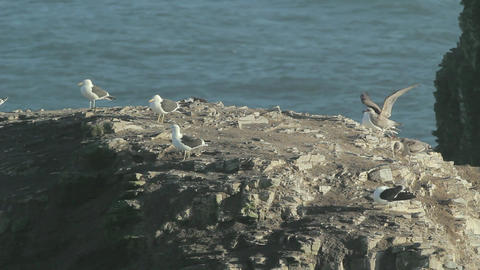 Seagulls on rock Footage