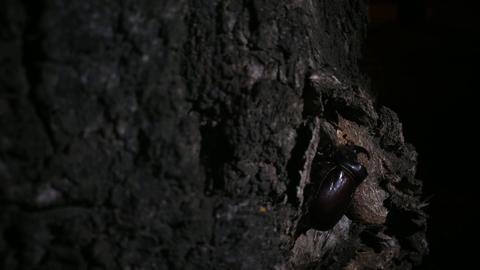 Rhinoceros beetle crawling close up v2 GIF