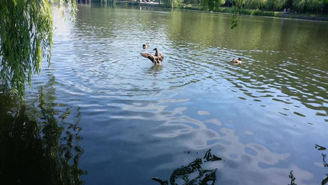 Ducks Swimming In pond Image