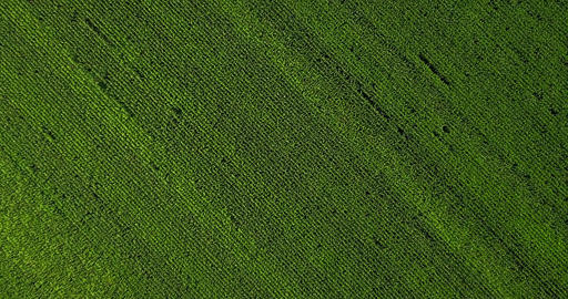 Aerial Drone View Of Green Corn Plantation Ready For Harvest Filmmaterial