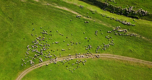 Aerial Drone View Of Sheep Herd Feeding On Grass Image