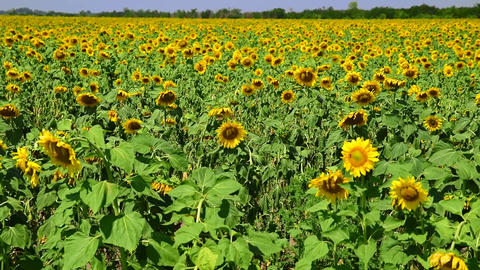 Blooming field with sunflowers Footage