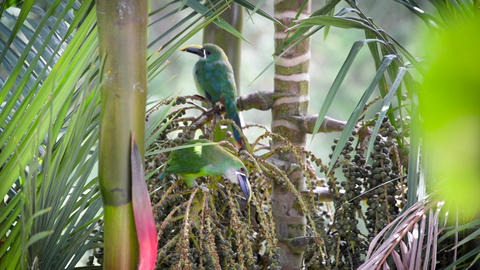 Two Toucanets in a Tree ビデオ