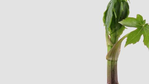 Japanese edible wild plant Parasenecio delphiniifolius, white background Footage