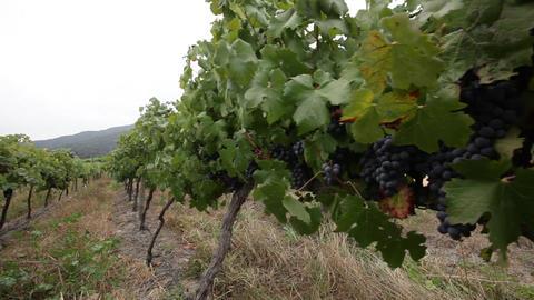 Black grapes on vines Footage