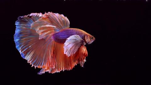 Siamese Fighting Fish Betta Splendens Filmmaterial