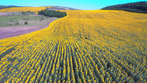 Flight over a Field of Sunflowers Footage