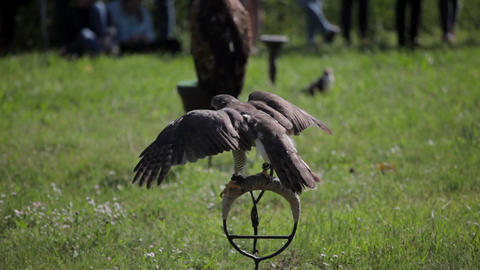 A bird of prey in captivity Live Action