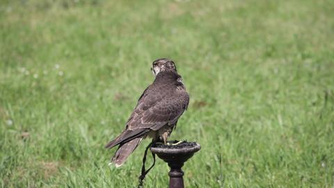 A bird of prey in captivity Footage