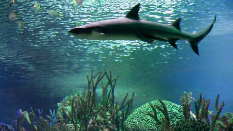 White Shark Underwater Live Action