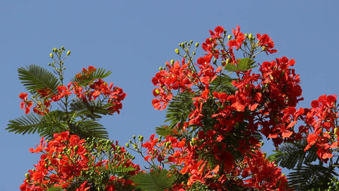 Vivid Delonix regia branch in sun light against blue sky, sway on breeze Footage