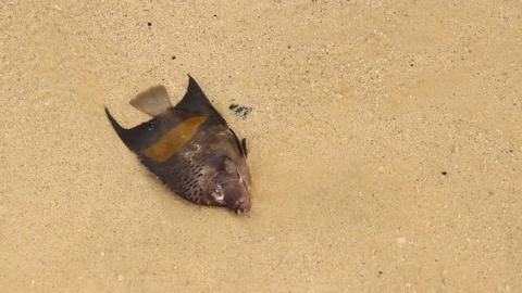 Dead fish sway in shallow water on beach, close up view Live Action