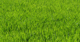 Paddy rice field on wind waves Footage
