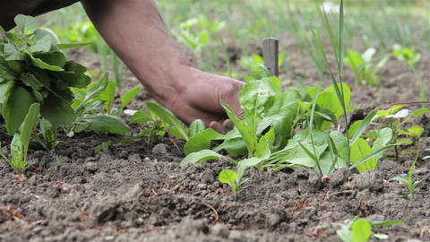 Gardener pulling weeds grown in carrots, planted in spring in his garden behind  Footage