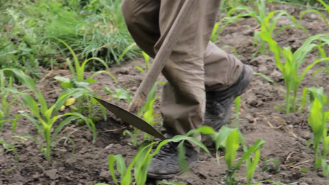 Gardener walking among rows of corn sown in the garden 5c Live Action