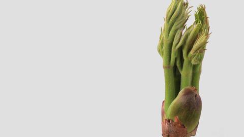 Japanese edible wild plant Aralia elata, white background Footage