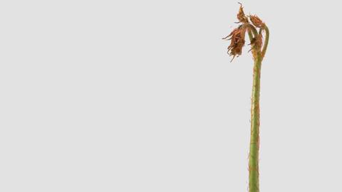 Japanese edible wild plant Astilbe odontophylla, white background Footage