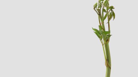 Japanese edible wild plant Aruncus dioicus, white background Footage